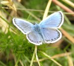 Male Common Blue butterfly (Polyommatus icarus) (image © Mike Poulton)