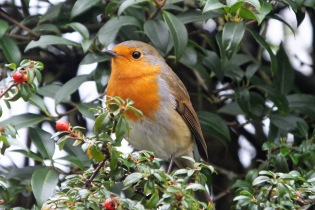 Robin (Erithacus rubecula) (image © Andy Cook)