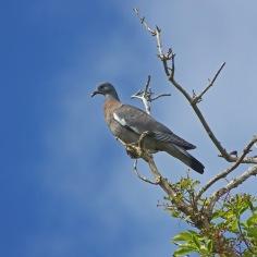 Woodpigeon (Columba palumbus) (image © Andy Cook)
