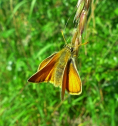 Small/Essex Skipper (Thymelicus sylvestris/lineola) (image © Mike Poulton)