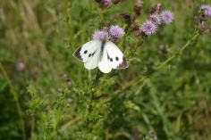 Large White (Pieris brassicae) (image © Mike Poulton)
