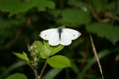Small White (Pieris rapae) (image © Mike Poulton)