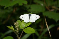 Small White (Pieris rapae) (image © Mike Poulton)
