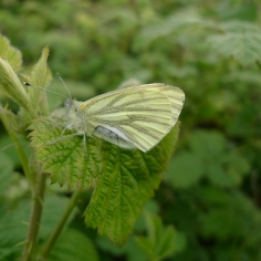 Green-veined White (Pieris napi) (image © Mike Poulton)