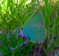 Green Hairstreak (Callophrys rubi) (image © Mike Poulton)