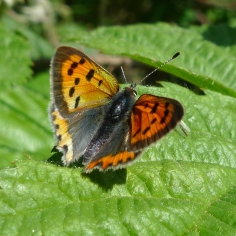 Small Copper (Lycaena phlaeas) (image © Mike Poulton)