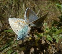 Common Blue (Polyommatus icarus) (image © Mike Poulton)