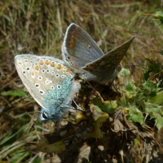 Common Blue (Polyommatus icarus) (image © Mike Poulton)