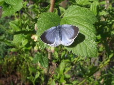 Holly Blue (Celastrina argiolus) (image © Mike Poulton)