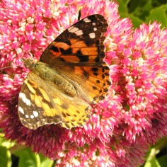 Painted Lady (Vanessa cardui) (image © Mike Poulton)