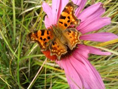 Comma (Polygonia c-album) (image © Mike Poulton)