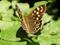 Speckled Wood (Pararge aegeria) (image © Mike Poulton)