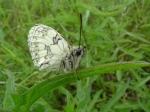 Marbled White (Melanargia galanthea) (image © Mike Poulton)