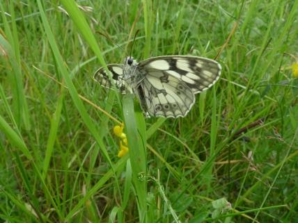 Marbled White butterfly (Melanargia galanthea) (image © Mike Poulton)