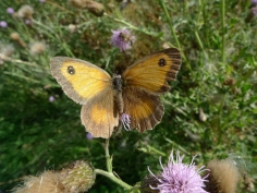 Gatekeeper (Pyronia tithonus) (image © Mike Poulton)