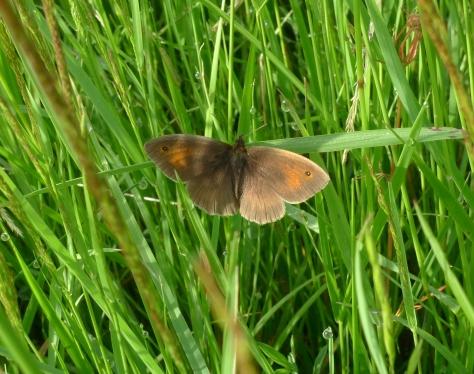 Meadow Brown (Maniola jurtina) (image © Mike Poulton)