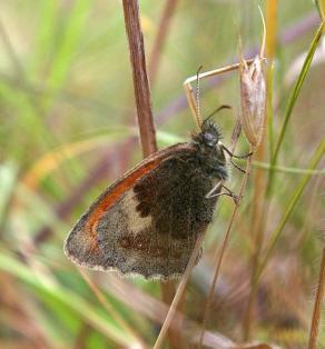 Small Heath (Coenonympha pamphilus) (image © Mike Poulton)