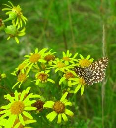 Latticed Heath (Chiasmia clathrata) (image © Mike Poulton)