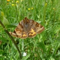 Burnet Companion (Euclidia glyphica) (image © Mike Poulton)