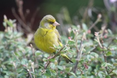 Greenfinch (Carduelis chloris) (image © Andy Cook)