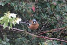 Chaffinch (Fringilla coelebs) (image © Andy Cook)