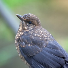 Blackbird (Turdus merula) (image © Andy Cook)