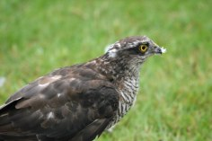 Sparrowhawk (Accipiter nisus) (image © Andy Cook)