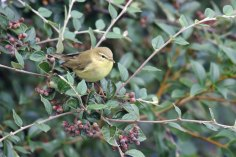 Willow Warbler (Phylloscopus trochilus) (image © Andy Cook)