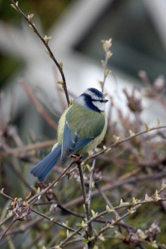 Blue Tit (Cyanistes caeruleus) (image © Andy Cook)