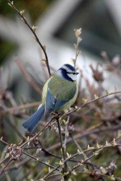 Blue Tit (Cyanistes caeruleus) (image © Andy Cook)