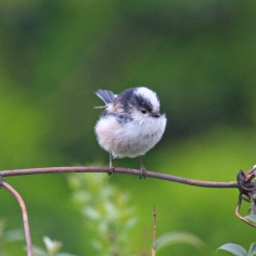 Long-tailed Tit (Aegithalos caudatus) (image © Andy Cook)