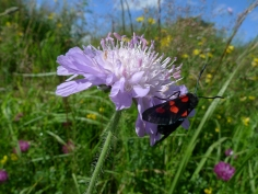 Five-spot Burnet Moth (Zygaena trifolii) on Field Scabious (Knautia arvensis) (image © Mike Poulton)