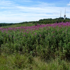 Rosebay Willowherb (Chamerion angustifolium) (image © Mike Poulton)