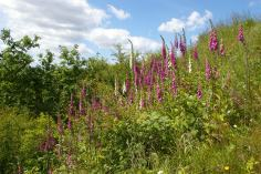 Foxgloves (Digitalis purpurea) (image © Mike Poulton)