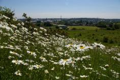 Oxeye Daisies (Leucanthemum vulgare) on bank (image © Mike Poulton)
