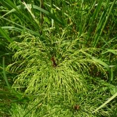 Wood Horsetail (Equisetum sylvatica) (image © Mike Poulton)