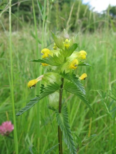 Yellow Rattle (Rhinanthus minor) (image © Jane Tavener)