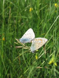Mating Common Blue butterflies (Polyommatus icarus) (image © Jane Tavener)
