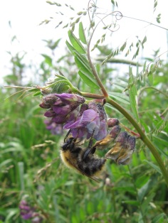 Bush Vetch (Vicia sepium) with a Common Carder Bee (Bombus pascuorum) (image © Jane Tavener)