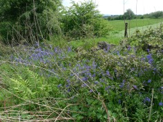 Bluebells (Hyacinthoides non-scripta) (image © Mike Poulton)