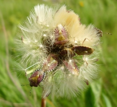 Hairy Shieldbugs (Dolycoris baccarum) on Dandelion seedhead (Taraxacum officianale) (image © Mike Poulton)