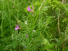 Hairy Tare (Vicia hirsuta) and Common Vetch (Vicia sativa) (image © Mike Poulton)