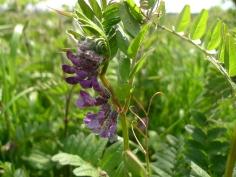 Bush Vetch (Vicia sepium) (image © Mike Poulton)