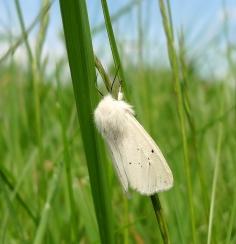 White Ermine (Spilosoma lubricipeda) (image © Mike Poulton)
