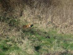 Sunbathing Fox (Vulpes vulpes) (image © Mike Poulton)