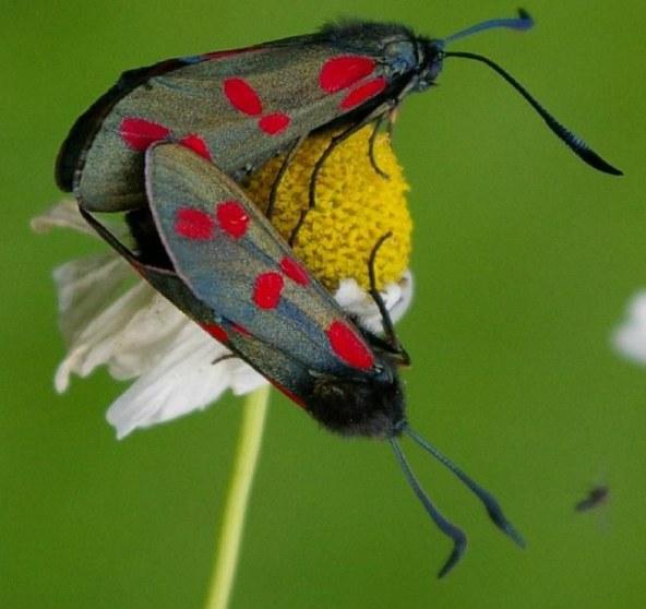 Six-spot Burnet (Zygaena filipendulae) (image © Mike Poulton)