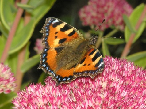 Small Tortoiseshell butterfly (Aglais urticae) (image ©Mike Poulton)
