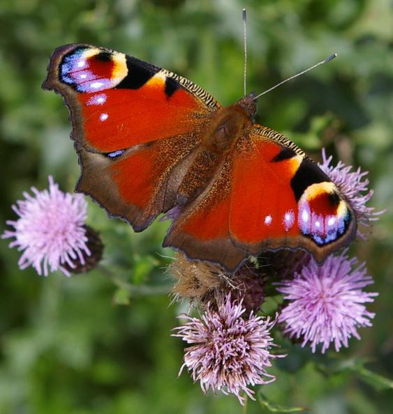 Peacock butterfly (Inachis io) (image ©Mike Poulton)