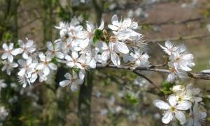 Cherry Plum (Prunus cerasifera) (image ©Mike Poulton)