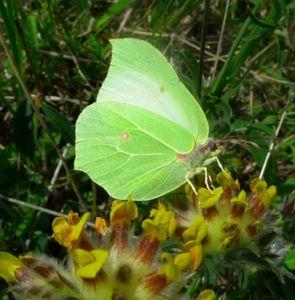 Brimstone butterfly (Gonepteryx rhamni) (image © Mike Poulton)